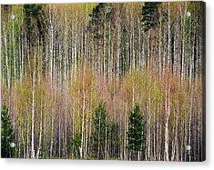 Spring Forest Lace Acrylic Print by Vladimir Kholostykh