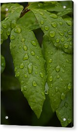 Spring Leaves Acrylic Print by Dickon Thompson