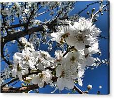 Spring Pear Blossoms 2012 Acrylic Print by Joyce Dickens