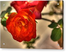 Spring Rose Acrylic Print by Barry Jones