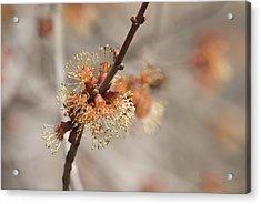 Spring Tree Bud Acrylic Print