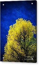 Spring Tree Acrylic Print by Silvia Ganora