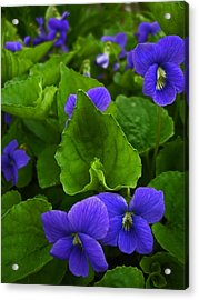 Spring Violets Acrylic Print by Yvonne Scott