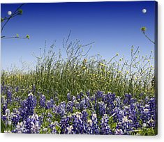 Acrylic Print featuring the photograph Springtime Bluebonnets by Lynnette Johns