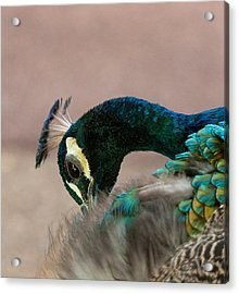 Sprucing Up Acrylic Print by Heather Thorning