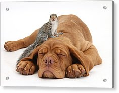 Squirrel And Puppy Acrylic Print by Mark Taylor