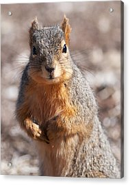 Acrylic Print featuring the photograph Squirrel by Art Whitton