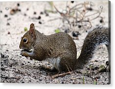 Acrylic Print featuring the photograph Squirrel Eating Nuts by Jeanne Andrews