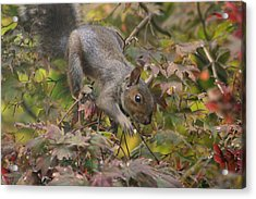 Squirrel In Fall Acrylic Print by Valia Bradshaw