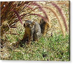 Squirrel In The Grass Acrylic Print by Bonnie Muir
