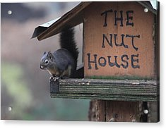 Squirrel In The Nut House Acrylic Print by Sam Amato