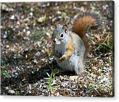Acrylic Print featuring the photograph Squirrel by Josef Pittner