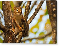 Acrylic Print featuring the photograph Squirrel On High by Cheryl Baxter