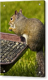 Squirrel On Seed Tray Acrylic Print by Bill Tiepelman