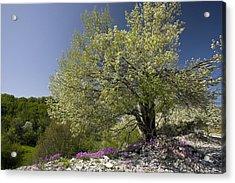 St Lucie Cherry Tree (prunus Mahaleb) Acrylic Print by Bob Gibbons