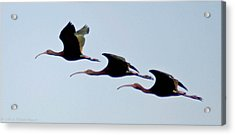 Acrylic Print featuring the photograph Stacked Ibis by Mitch Shindelbower