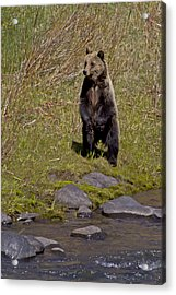 Acrylic Print featuring the photograph Standing Grizzly by J L Woody Wooden