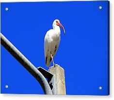 Standing Ibis Acrylic Print