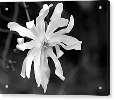 Star Magnolia Acrylic Print by Lisa Phillips