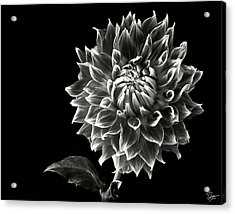 Acrylic Print featuring the photograph Starburst Dahlia In Black And White by Endre Balogh