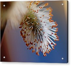 Starburst Acrylic Print by Susan Capuano