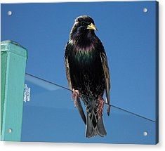 Acrylic Print featuring the photograph Starling At Santa Monica Pier by Peter Mooyman