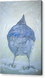 Stellar Jay From  Back Acrylic Print by Debbi Saccomanno Chan