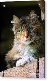 Stinks Barn Cat Acrylic Print by Lila Fisher-Wenzel