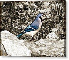 Stone Blue Jay Acrylic Print by Debra     Vatalaro