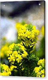 Stonecrop (sedum Middendorffianum) Acrylic Print by Dr Keith Wheeler