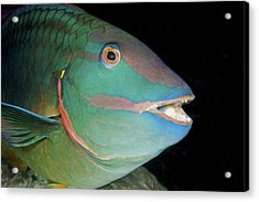 Stoplight Parrotfish Acrylic Print by Clay Coleman