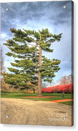 Strangely Shaped Tree At Cincinnati Observatory Acrylic Print