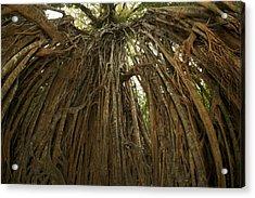 Strangler Fig Tree, Ficus Virens, Known Acrylic Print by Tim Laman