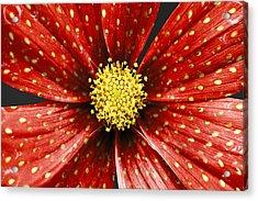 Strawberry Plant Acrylic Print by Alice Gosling
