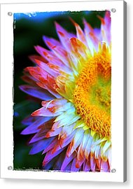 Acrylic Print featuring the photograph Strawflower by Judi Bagwell