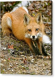 Acrylic Print featuring the photograph Stretching Fox by Rick Frost