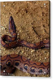 Acrylic Print featuring the photograph Striking Boa by John Burns