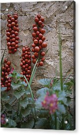 Strings Of Tomatoes Dry On A Wall Acrylic Print by Tino Soriano