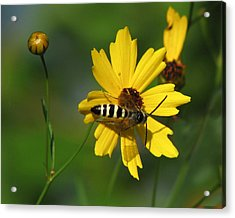 Striped Bee On Wildflower Acrylic Print