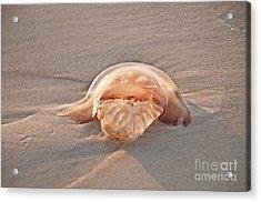 Stromolophus Jellyfish Acrylic Print by Loriannah Hespe
