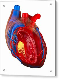 Structure Of A Human Heart, Artwork Acrylic Print by Roger Harris