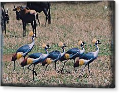 Strutting Crested Cranes Acrylic Print