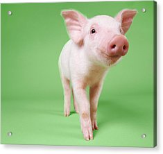 Studio Cut Out Of A Piglet Standing Acrylic Print by Digital Vision.