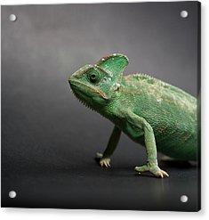 Studio Shot Of Chameleon Acrylic Print by Sarune Zurba