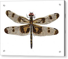 Study Of A Banded Pennant Dragonfly Acrylic Print