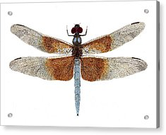 Acrylic Print featuring the painting Study Of A Female Widow Skimmer Dragonfly by Thom Glace