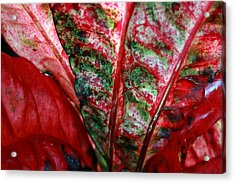 Study Of The Croton 2 Acrylic Print by Jennifer Bright