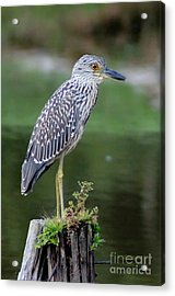 Stumped Night Heron Acrylic Print by Benanne Stiens
