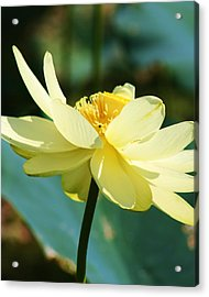 Stunning Water Lily Acrylic Print by Bruce Bley