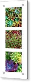 Succulent Trio Acrylic Print